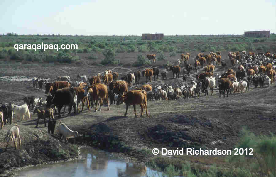 Mixed cattle and goat herd